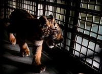 Gladys Porter Zoo Smuggled Tiger